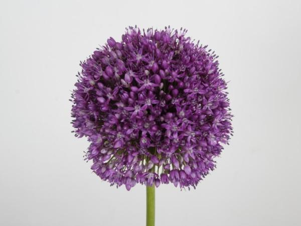 allium ambassador purple