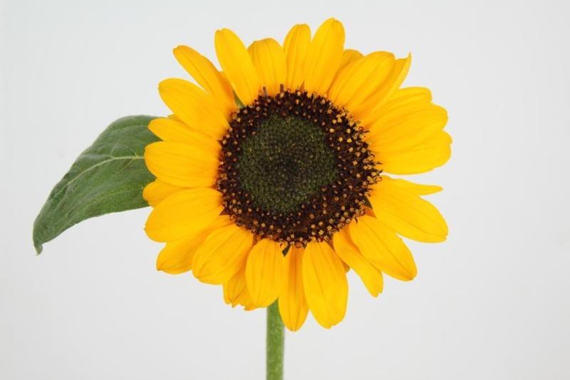 heliantus sonja yellow