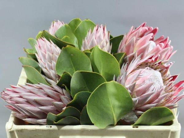 Protea Cynaroides